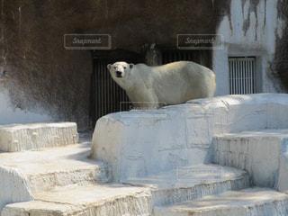 動物園のエンクロージャのシロクマの写真・画像素材[1359774]