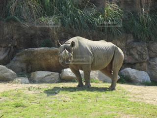 動物園でエンクロージャで歩くサイの写真・画像素材[1359778]