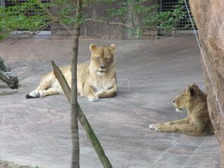 動物園のエンクロージャに座っているライオンの写真・画像素材[1359779]