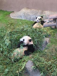 ごはん中のパンダの写真・画像素材[1298901]