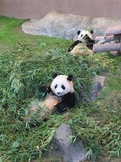 ごはん中のパンダの写真・画像素材[1298903]