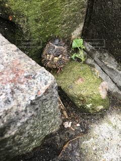 巣から落ちて雨に濡れた雀の雛の写真・画像素材[1304099]