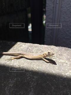 日中のトカゲの写真・画像素材[1304756]