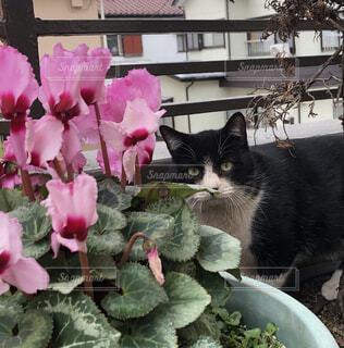 シクラメンと猫の写真・画像素材[4199822]