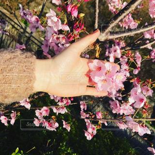 桜かな?梅かな?  どちらにせよ綺麗でした☺️の写真・画像素材[1297117]