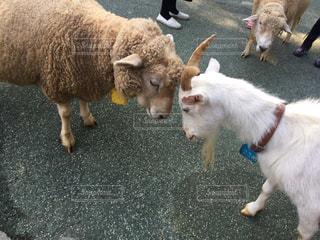 羊vsヤギの写真・画像素材[1297570]