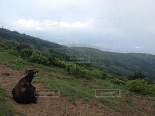 背景の山と牛の写真・画像素材[1321096]