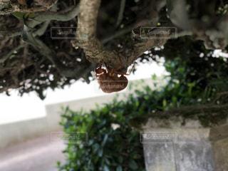 蝉の抜け殻の写真・画像素材[1520514]