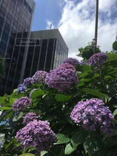 好きな品種の紫陽花の写真・画像素材[1300787]