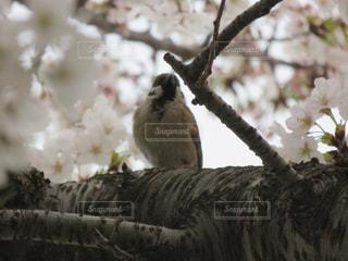 桜とスズメの写真・画像素材[1310459]