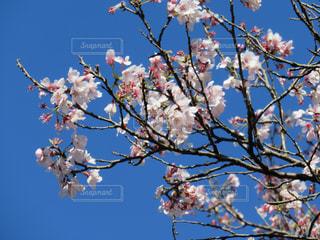 青空に映えるさくらの写真・画像素材[3090583]