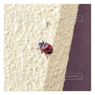 てんとう虫の写真の写真・画像素材[1298702]
