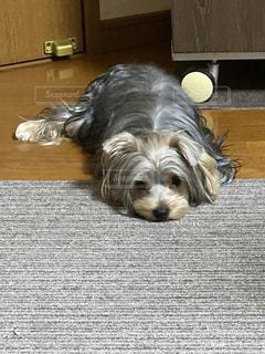 床に横たわっている犬の写真・画像素材[3480598]