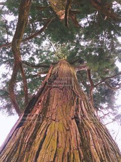 大きな木の写真・画像素材[1299302]