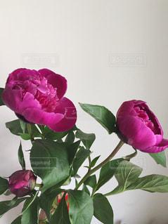 芍薬の花の写真・画像素材[1299274]