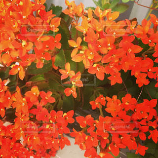 カランコエの花の写真・画像素材[1301646]