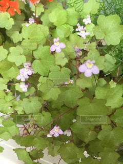 小さなお花の写真・画像素材[1301651]