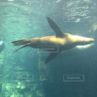 逆さまになって泳ぐアシカの写真・画像素材[1309412]