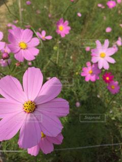 ピンクのコスモスの写真・画像素材[1319414]