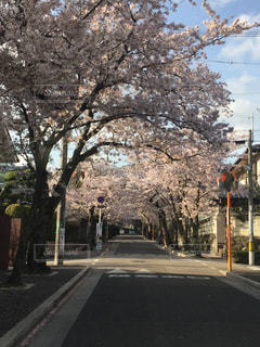 桜のトンネルの写真・画像素材[1319418]