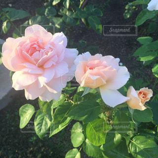 ピンクのバラの写真・画像素材[1319422]