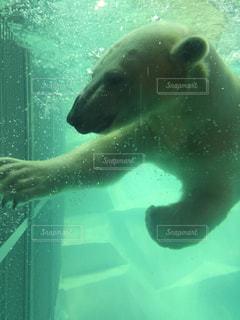 水中を泳ぐホッキョクグマの写真・画像素材[1351610]