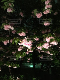 八重桜の写真・画像素材[1351613]