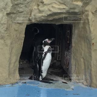 岩に立っているペンギンの写真・画像素材[1357919]