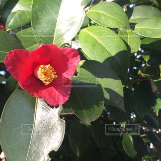 椿の花の写真・画像素材[1362115]