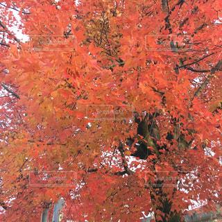 楓の写真・画像素材[1362116]