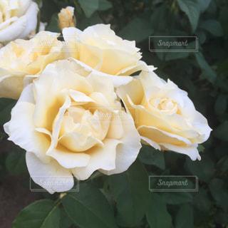 バラのアップの写真・画像素材[1780702]
