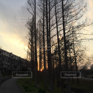 夕暮れのメタセコイアの写真・画像素材[1981462]