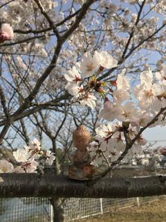 桜と大仏様の写真・画像素材[1302730]