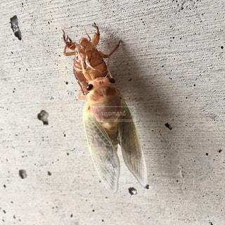 蝉の旅立ちの写真・画像素材[1302961]