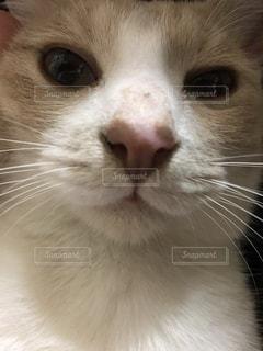 近くにカメラを見て猫のアップの写真・画像素材[1299580]