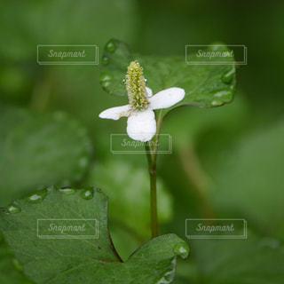 どくだみの花の写真・画像素材[1300003]