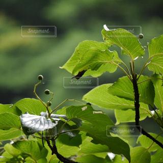 緑の葉の木の写真・画像素材[1300007]