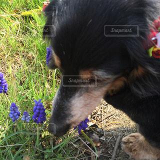 ムスカリの花の匂いの写真・画像素材[1300231]