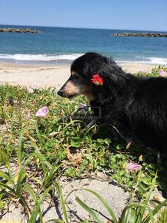 水の体の近くのビーチで横になっている黒犬の写真・画像素材[1300258]