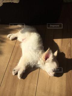 その口を開いて白猫の写真・画像素材[1301402]