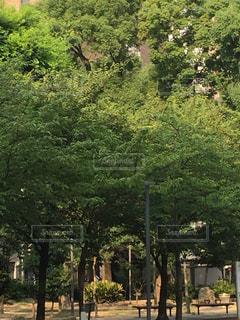 公園の大きな木の写真・画像素材[1311305]