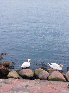 2羽の白鳥の写真・画像素材[1365316]