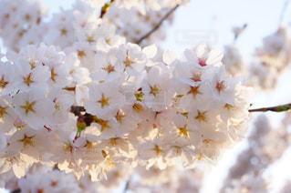 桜と夕焼けの写真・画像素材[1302214]