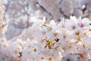 桜の写真・画像素材[1302215]