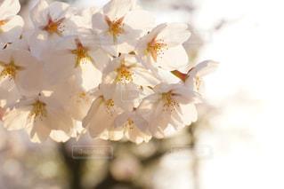 桜の写真・画像素材[1302218]