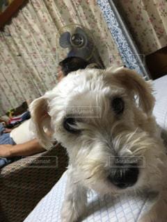 カメラを見て小さな白い犬の写真・画像素材[1303618]