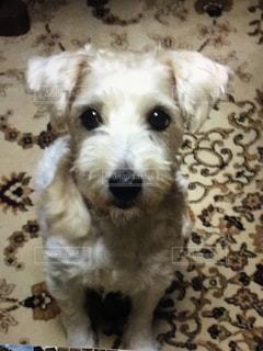 カメラを見て小さな白い犬の写真・画像素材[1303621]