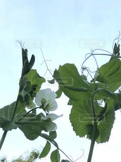 スナップエンドウの花の写真・画像素材[2050226]