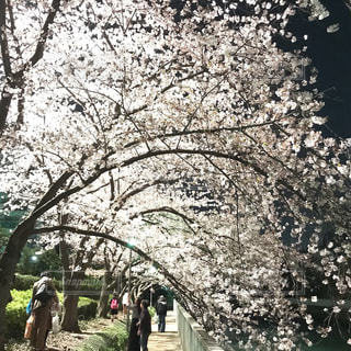 夜桜見物の写真・画像素材[1303651]