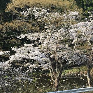 川辺の桜の写真・画像素材[1303652]